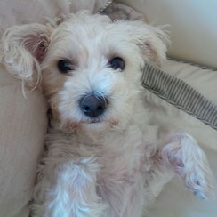 Here is Princess Lilly, the Bichon Westie Cross on her bed from the Jack, Lilly and Friends series.