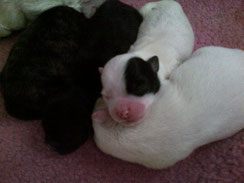 Here are some of Lilly's puppies from Lilly and Six Book, Jack Lilly and Friends.