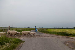 Schafe ueberqueren die Straße