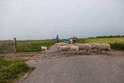 Schafe kommen zurück