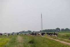 Kuehe auf der Weide