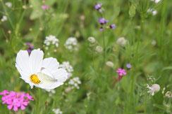 Valerie Forster, Meine Blumenwiese im Garten
