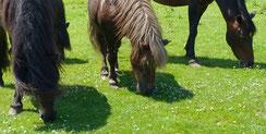 reiten Pferde Pony