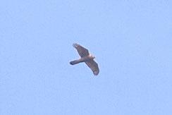 オオタカ 幼鳥