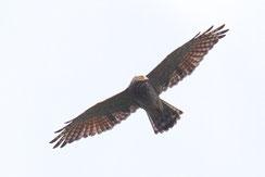 サシバ 成鳥