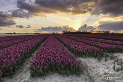 Sunset tulipfield