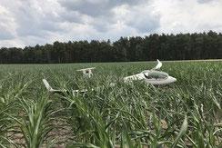 Ein Discus tarnt sich eher schlecht im Mais.
