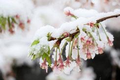 雪かぶるサクラ,YUさん,桜フォトコンテスト,2020,橋本屋賞,