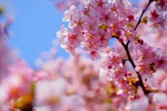 bonita1031さん,桜フォトコンテスト,2020,常盤堂 雷おこし本舗賞