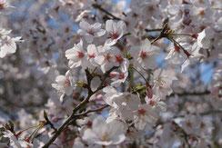 こんな時期だからこそ美しい桜を写真で!,千囃連さん,桜フォトコンテスト,2020,浅草粋や賞