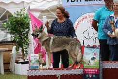 Welpen tschechoslowakischer Wolfshund Wolfhund Züchter Hundewelpen VDH Papiere Brandenburg