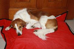 Ist Ihr Hund gegen Staupe geschützt? Fragen Sie Frau Peters nach Impfempfehlungen für Hunde