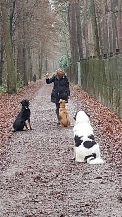 Training mit Blue, Rodesian Ridgeback-Husky-Schäfermix, Balou, großer schweizer Sennenhund und Hope, Landseer
