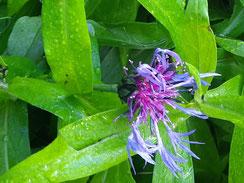 Bleuet des montagnes (Cyanus montanus)
