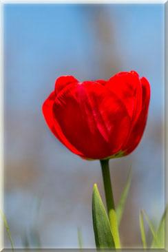 Rote Tulpe einzeln gerahmt hochkant © Jutta M. Jenning