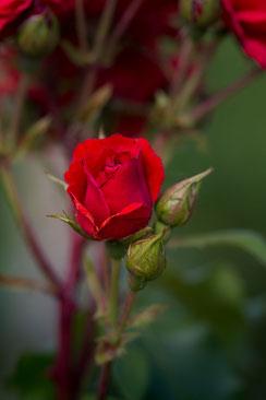 Rote Freilandrose mit Knospen