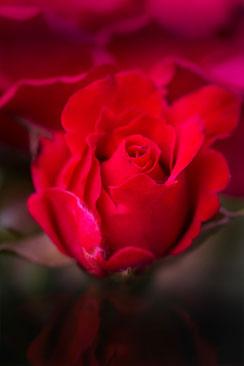 Rote Freilandrosen mit Spiegelung