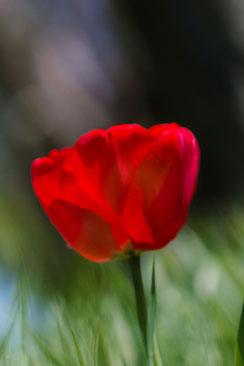 Rote Tulpe auf der Wiese hochkant © Jutta M. Jenning