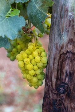 Grüne Weintrauben am Rebstock im Weinberg hochkant