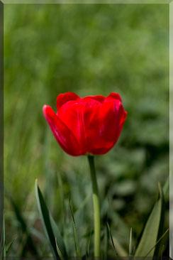 Rote Tulpe auf der Wiese gerahmt hochkant © Jutta M. Jenning