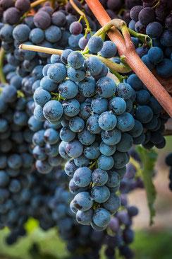 Blaue dunkle Weintrauben hängen an der Rebe im Weinberg-hochkant
