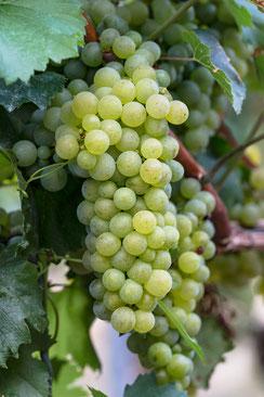 Helle Weintrauben reifen an der Rebe im Weinberg-hochkant