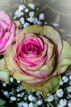 Rosafarbene Rose mit Schleierkraut