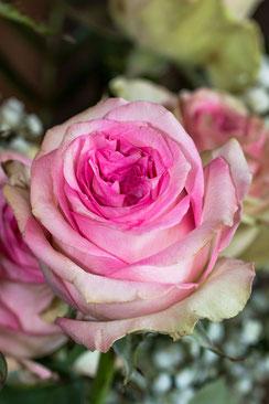 Rosafarbene Rose einzeln