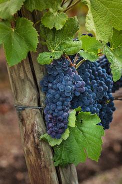 Blaue Weintrauben hängen am Rebstock hochkant
