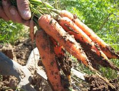Cueillette de cappy - fruits - legumes de saison - producteur - fermier - famille - potager - récolter