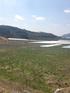 清々しい哲多町の葡萄畑。