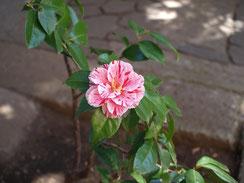 門の前に椿が一輪咲いていました