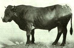 Taureau Hérens, primé au concours de Sion en 1892