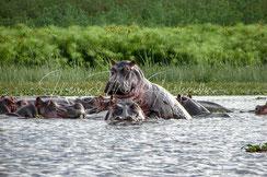 Flusspferde Nilpferde