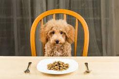 un chien caniche assis sur une chaise devant une assiette par coach canin 16 educateur canin
