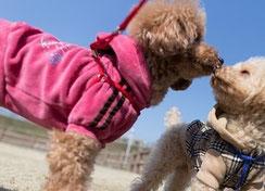 deux caniches en laisse se sentent le museau par coach canin 16 educateur canin charente