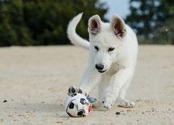 un chiot berger blanc suisse joue avec sa balle par coach canin 16 en charente