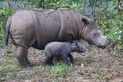 Sumatra Rhino