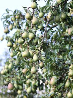 saisonale Früchte vom petershof Kärselen
