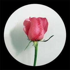 Rose Rose-8     55x 55 inches  2008