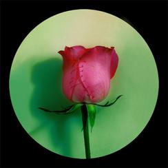 Rose Rose -1    55x 55 inches  2008