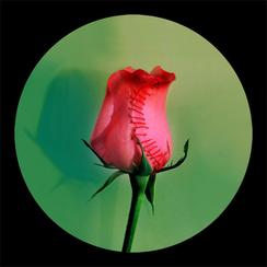 Rose Rose-4      55x 55 inches  2008