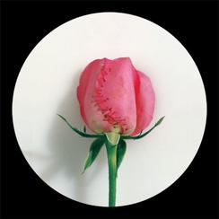 Rose Rose-6      55x 55 inches  2008