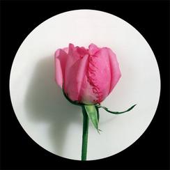 Rose Rose-5      55x 55 inches  2008