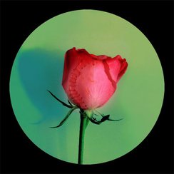 Rose Rose-3      55x 55 inches  2008