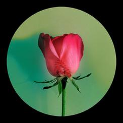 Rose Rose-2      55x 55 inches  2008