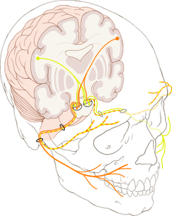 顔面神経の分布