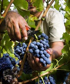D.O.ナバラ2014年ヴィンテージ収穫 (www.diariodegastronomia.com)