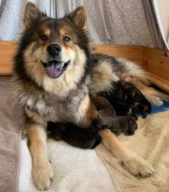 Mama Hoshi mit ihren 7 Welpen