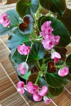 B.semperflorens